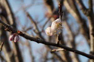 サクランボ 桜桃