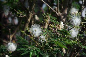 シロネム 白花合歓木