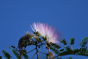 ネムノキ 合歓の木