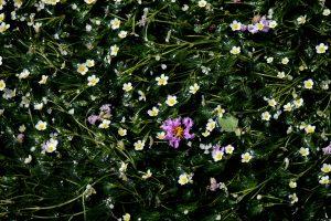 バイカモ 梅花藻