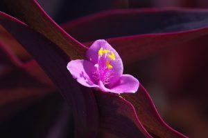 ムラサキゴテン 紫御殿