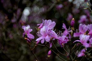ムラサキツツジ 紫躑躅