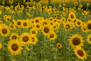 ヒマワリ 向日葵