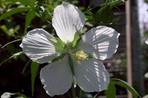 モミジアオイ  紅葉葵