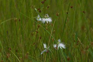 サギソウ 鷺草