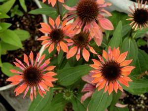 2015/6/14  P900 庭の花