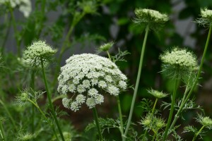 2015/6/5  FZ1000 6月 庭の花