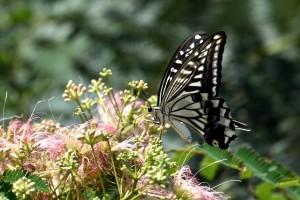 2015/8/15 D750 FZ1000 花と蝶