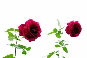 2015/10/30 T1 秋の薔薇