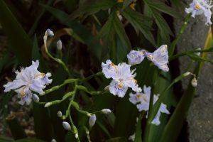 2017/4/16 FZH1 庭の花