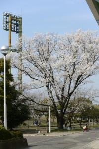 2014/3/29 V2  30-110 淡墨桜