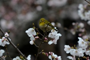 2014/3/31 D7100 70-200 f/4G 花と小鳥