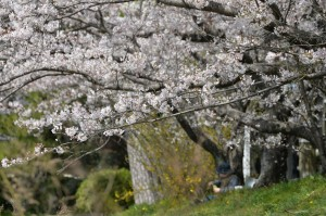2014/4/1 Df SP 70-300 桜(治水神社にて)