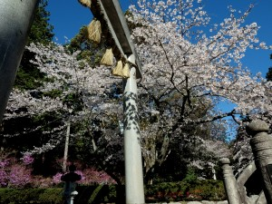 20140404 SP-100EE 伊奈富神社の 桜 と 躑躅