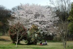 2014/4/6 SP-100EE 桜(青少年の森公園)