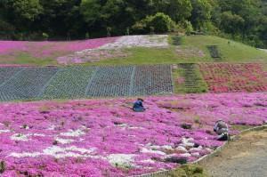 2014/4/24 Df 70-200 f/4G 志摩市観光農園 芝桜公園