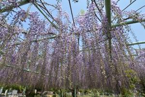 2014/4/25 D7100 12-24 竹成 五百羅漢のフジ
