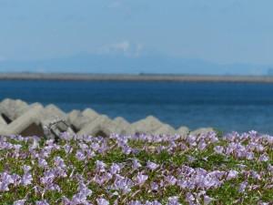 2014/5/17 (No.2) FZ200 吉崎海岸のハマヒルガオ