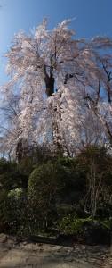 2013/3/21XF1  淡墨桜