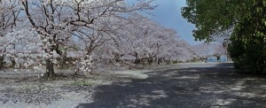 2013/3/31 サクラ(パノラマにて)