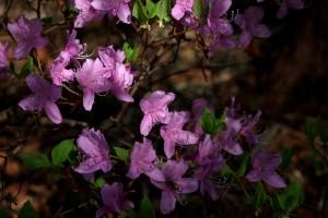 2013/4/4 X-E1 伊奈冨神社の紫つつじ