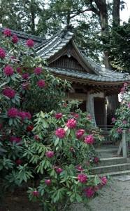 2013/4/15 深溝 神明社の石楠花
