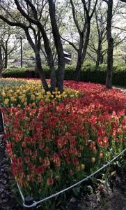 2013/4/27 最後のチューリップ  木曽三川公園にて