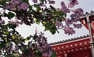 2013/5/8 津観音の桐の花