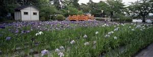 2013/6/6 九華公園  花菖蒲