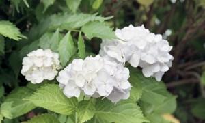 2013/6/9 紫陽花の頃