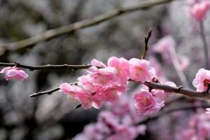2015/3/13   T1 18-135 梅(九華公園にて)