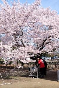 2015/4/4 T1 18-135 サクラ (旭化成)