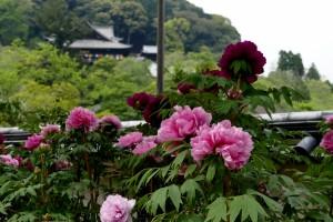2015/4/28  FZ1000  長谷寺の牡丹